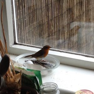 Indoor Robin